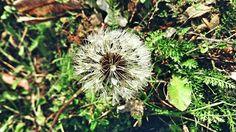 Dandelion Dandelion, My Photos, Flowers, Plants, Dandelions, Flora, Plant, Royal Icing Flowers, Flower