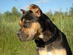 Razas de perros en peligro de extinción