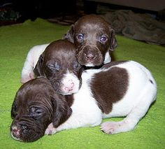 such cute puppies!!!! German short hair pointer puppies :) So cute and loveable