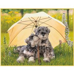 Danbury Mini Schnauzers - Bing Images