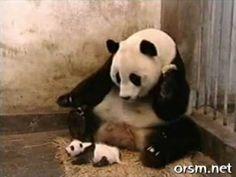 Baby panda scares Mom...Tooo funny :)