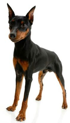 Miniature Pinschers - One of the best breeds ever. Great disposition, great sense of humor, happy, protective, loving, and very smart.