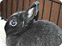 Louisville, KY - Bunny Rabbit. Meet RUMBLER, a pet for adoption. http://www.adoptapet.com/pet/13495278-louisville-kentucky-rabbit