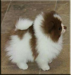 Marvelous Pomeranian Does Your Dog Measure Up and Does It Matter Characteristics. All About Pomeranian Does Your Dog Measure Up and Does It Matter Characteristics. White Pomeranian, Pomeranian Puppy, Micro Teacup Pomeranian, Teacup Yorkie, Pomsky, Yorkie Dogs, Chihuahua, Cute Puppies, Cute Dogs