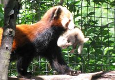Rare Red Panda Born At Indiana Zoo: Is It A Bear Or A Racoon? ... #pets #animals ... PetsLady.com