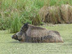 Wild Boar Wild Hogs, Hog Pig, Boar Hunting, Piglets, Prepping, Big, Funny, Animals, Wild Boar