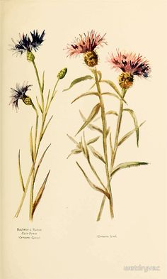 Harper's Guide to Wild Flowers 1912 Creevey, Caroline and Stickney, Alathea 131 Bachelor's Button or Corn Flower