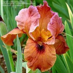 Arilbred Iris 'Babylonian Fires'