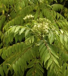 How to grow curry leaf tree - GardenDrum