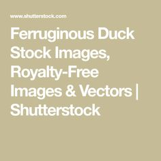 Ferruginous Duck Stock Images, Royalty-Free Images & Vectors | Shutterstock