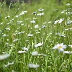 Pieni Lintu Summer Photos, Dandelion, Flowers, Summer Pictures, Dandelions, Taraxacum Officinale, Royal Icing Flowers, Flower, Florals