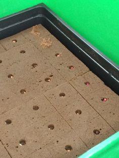 Primero colocamos las semillas  se jitomate, acelga , lechuga , jalapeño , cilantro , arugula , etc. en un kit de germinacion que tienen orificios para que podamos colocar tierra y regar las plantas con los nutrientres que te vienen integrados con 25ml  que los diluyes en un litro de agua , y con esa sustancia se riega cada 3 dias , se tienen que mantener en un lugar calido y estar por lo menos 5 horas al dia en el sol .