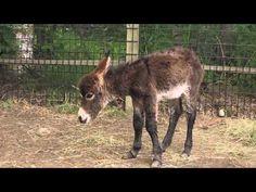 Its a boy! This miniature donkey was born July 4, 2012 at the Alaska Zoo.