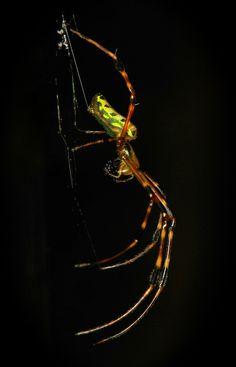 Orchard Spider (Leucauge sp., Tetragnathidae)