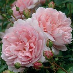 Wildeve - David Austin Roses