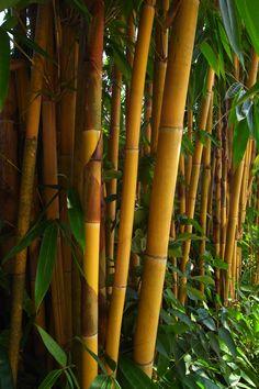 Sayan Bari (yellow buluh bamboo@bali)