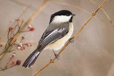 Black-Capped Chickadee - I'm seeing a lot of these guys at my bird feeder.
