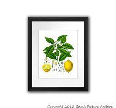 Antique Botanical Print Lemon Citrus Fruit No.7 Green Yellow Wall Art Decor Wall Hanging Housewarming gift floral print  8x10 Home Decor Art...