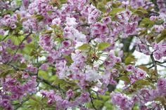 Experiencing Sakura, Japan's Mythic Cherry Blossom Festival - Garden Collage