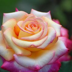 Rose by Russell Jenkins Beautiful Rose Flowers, Pretty Roses, All Flowers, Types Of Flowers, My Flower, Colorful Roses, Flower Pictures, Pink Roses, Orange Roses