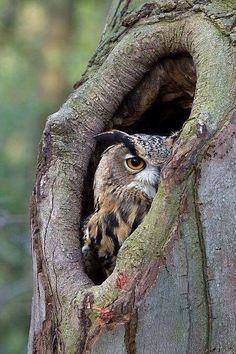 Owl in the tree