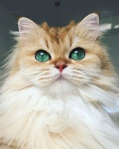 Cute Photogenic Fluffy Smoothie the Cat