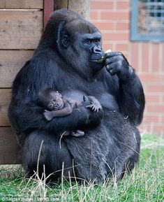 Rare baby gorilla born at Twycross Zoo - Virginia Brauer - Rare baby gorilla born at Twycross Zoo Ozala weighs 16 stone and the new arrival is her third child. Primates, Cute Baby Animals, Animals And Pets, Funny Animals, Beautiful Creatures, Animals Beautiful, Baby Gorillas, Orangutans, Silverback Gorilla