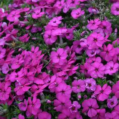 Phlox douglasii 'Red Admiral' (Large Plant) - Perennial & Biennial Plants - Thompson & Morgan