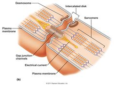 desmosomes and gap junctions in cardiac muscle - Google Search