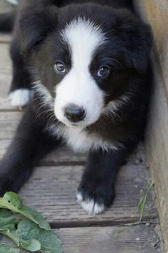 A Beautiful Border Collie Dog Kittens And Puppies, Cute Puppies, Cute Dogs, Border Collie Puppies, Collie Dog, West Highland Terrier, Australian Shepherds, Beautiful Dogs, Animals Beautiful