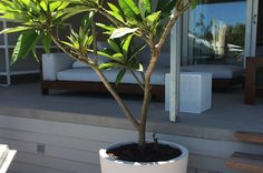Frangipani trees don't just offer colour & scent, they make very attractive statements in pots