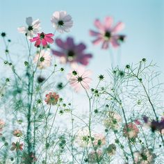 Cosmos flowers. I'm imagining myself in a pretty field of flowers on a lovely afternoon in brown county.