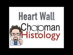 3 Min Histology Heart Wall - YouTube