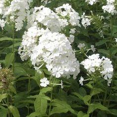 Phlox paniculata Fujiyama, Plantes pour le jardin - Promesse de fleurs #jardin #plante #fleur #blanc #jardinblanc #whitegarden #white #garden #promessedefleurs