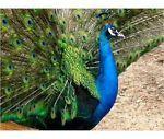 2 Pavão Pavões Ovos Galados Da Índia Blue Pied Caneta --- pré-venda | Comércio e indústria, Agricultura e setor florestal, Suprimentos pecuários | eBay!