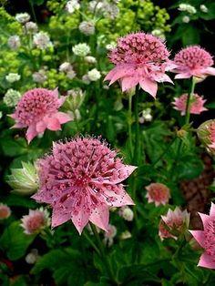 Astrantia Maxima Full/partial sun summer flowering Bog Plants, Garden Plants, Summer Flowers, Beautiful Flowers, Australian Plants, Hardy Perennials, Garden Borders, Exotic Plants, Outdoor Plants