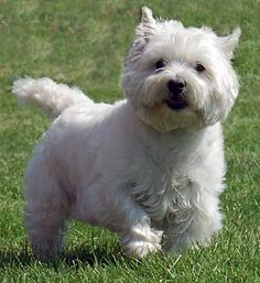 """""""Westhighland Terrier Dog"""" This is what Roma is!!!!  Someone I know just got one of these darling Westies.  I love all terrier breeds but this definitely one of the cutest!"""