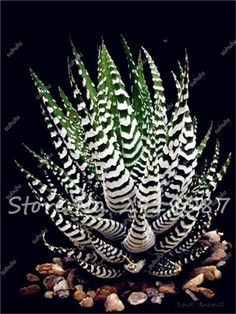 30 Pcs Aloe Seeds Rare Color Succulent Plants Mini Garden Planting, Edible Beauty Fruit Vegeable Seed Cactus Rebutia Herbs Plant