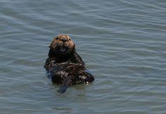 Frolicking Sea Otter in Monterey Bay