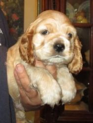 Carson is an adoptable Cocker Spaniel Dog in Kansas City, KS. Please contact Debbie 913-707-5111 ( ffalpets@yahoo.com ) for more information about this pet. These are Daisy's pups.? Daisy was a breede...