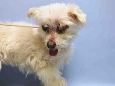 Senior in New York City Shelter. Will die soon if not taken in by rescue. http://nycdogs.urgentpodr.org/sweet-candy-a1041179/