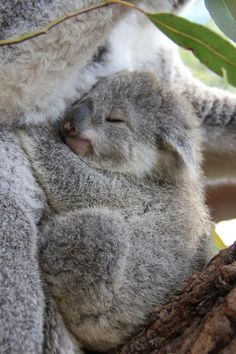Sweet baby koala bear sleeping.