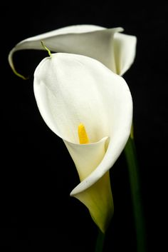 #arum blanc #fleurs #mariage #francefleurs