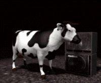 Vaches Gifs Humour. Gifs animés drôles sur les vaches, Cliparts animés drôles de vaches folles, Emoticones comiques de taureaux énervés, GIFS humoristiques insolites de veaux, gags marrants sur les vaches, images animées de vaches drôles