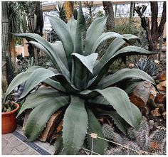 Agave salmiana Plant Seeds GREEN GIANT AGAVE by ALLooABOUTooSEEDS, $3.00