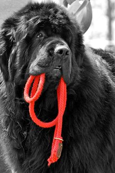 Newfoundland Dog ready to go for a walk Cute Puppies, Cute Dogs, Dogs And Puppies, Doggies, Big Dogs, I Love Dogs, Animals And Pets, Cute Animals, Terra Nova