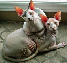 Tuna and Potato. Sphynx cats