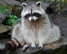 Common Raccoon(Procyon lotor)▶Controled by the Invasive Alien Species Act . Import, transport and keeping are prohibited in Japan ▶100 of the Japan's Worst Invasive Alien Species ▶アライグマ〜特定外来生物(環境省2005)、日本の侵略的外来種ワースト100 ▶自然分布域〜カナダからパナマ▶人獣共通感染症「アライグマ回虫症」