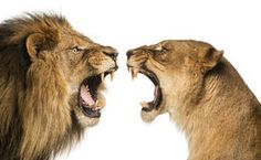 Close-up of a Lion and Lioness roaring Stock Image