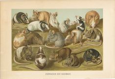 antique lithograph print of different kind of mice, mouse 1893 Mus Musculus, Fancy Rat, Animal Art Prints, Pocket Pet, Cute Mouse, Pet Rats, Antique Prints, Old Antiques, Types Of Art